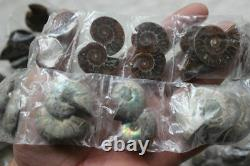 100 Pieces Small NATURAL RAINBOW SPLIT AMMONITE FOSSIL CONCH 50 Pairs