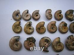 Iridescent Pyrite Replaced Ammonite from Saratov, Russia, lot of 56 pieces