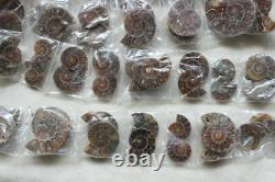 100 Pièces Petit Petit Rainbow Naturel Split Ammonite Fossil Conch 50 Paires