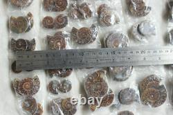 100 Pièces Petites Paires De Rainbow Naturel Ammonite Fossil Conch 50 Paires