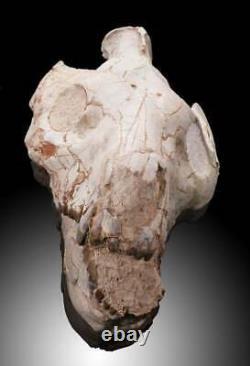 Crâne Oréodonte C'est Vraiment Une Pièce Remarquable À Un Prix Abordable