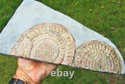Énorme Double-caloceras Johnstoni Ammonite Pièce D'exposition Fossile Jurassique Cristaux