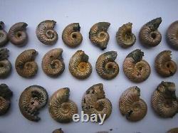 Irisé Goethite Remplacée Ammonite De Saratov, En Russie, Beaucoup De 56 Pièces