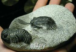 Rare Deux Espèces De Trilobites En Une Pièce Du Maroc